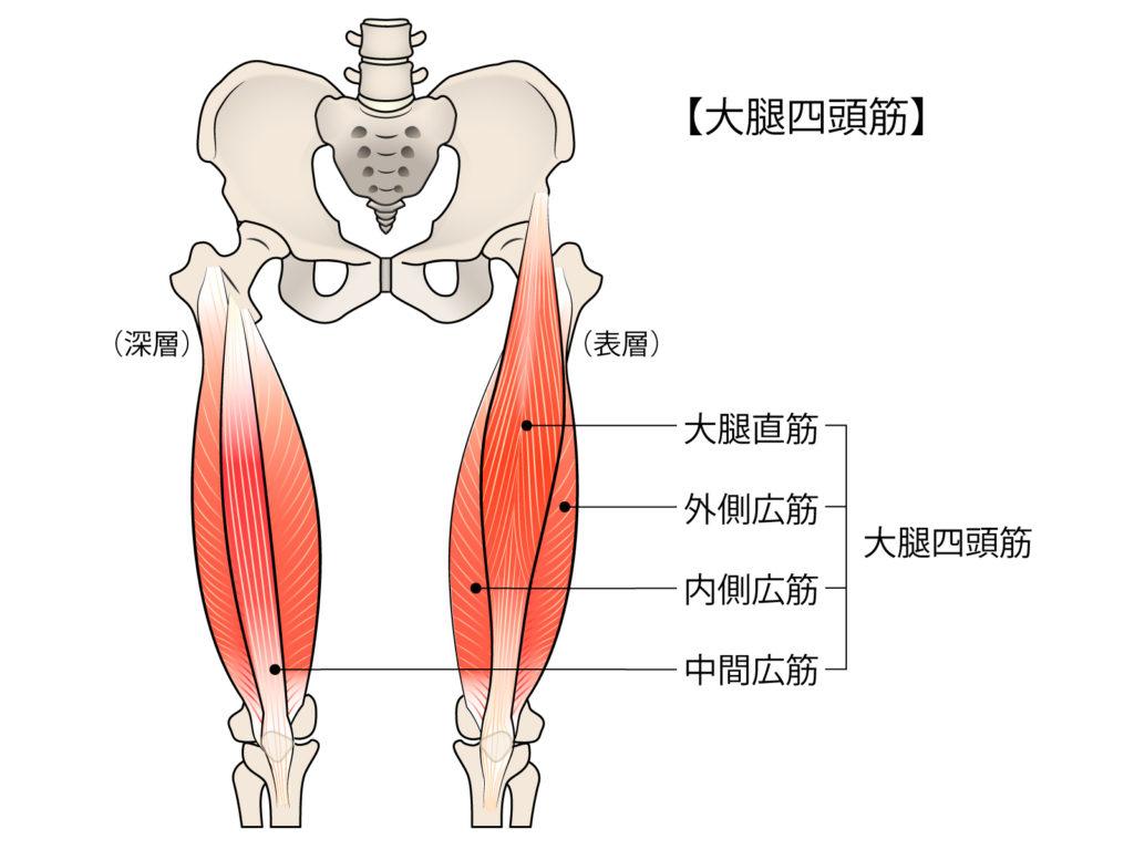 太ももの大腿四頭筋の説明